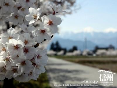 桜満開の散歩道