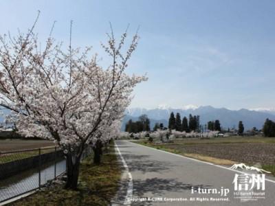 堰と桜並木3