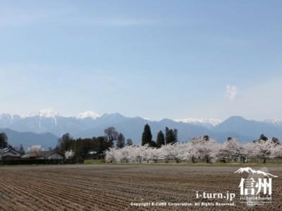 田園風景と桜並木と北アルプス
