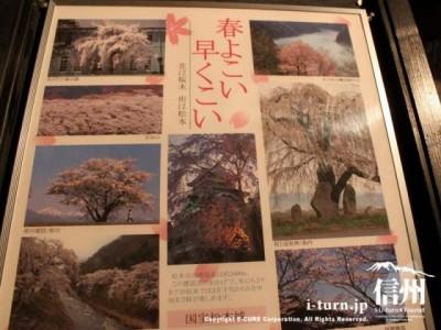 松本の桜の名所