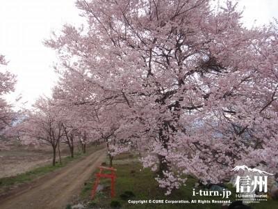 堤防沿いに咲く桜