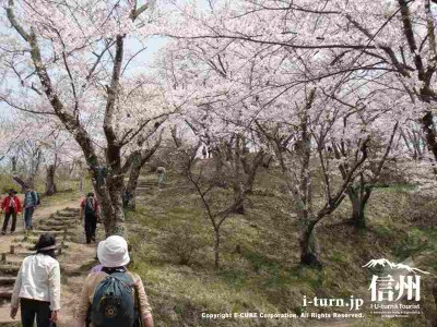 頂上近くの桜Ⅲ