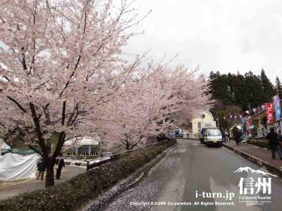 園内の道路沿いも桜満開
