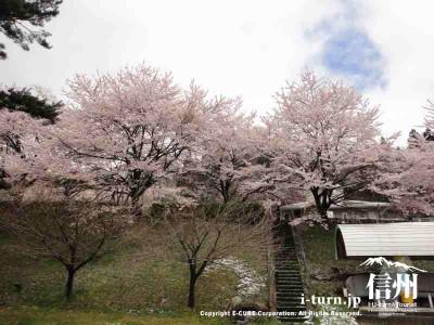 土手に咲く桜