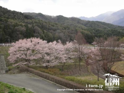 山手側にも桜