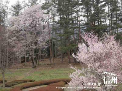 山際にも桜が咲いてました
