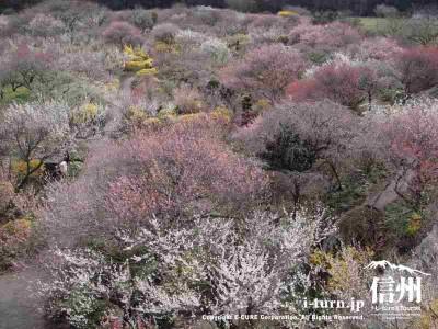 いろいろな種類の梅があるので色合いもキレイ