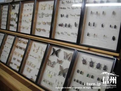 蝶やカブトムシなど昆虫のはく製