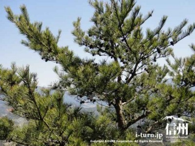 松ぼっくりがびっしりついた松の木