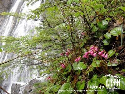 滝とイワカガミ