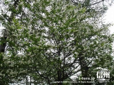 ウワミズサクラの樹