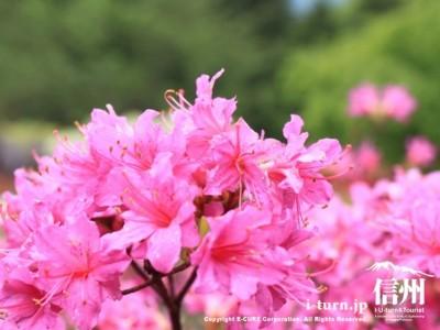 ピンクのツツジ