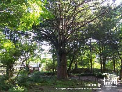 庭内の大樹