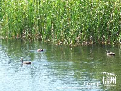 雨宮池と3羽の鴨