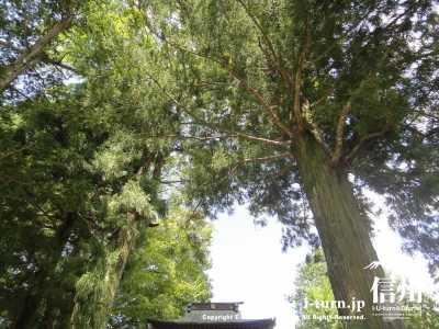 参道に杉の大木があります