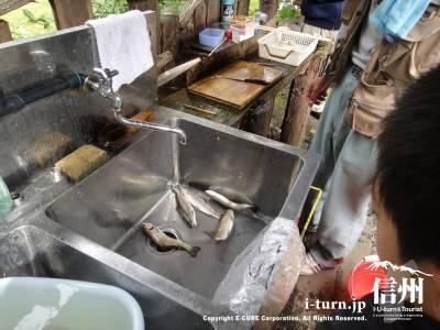 釣ったニジマスを洗います