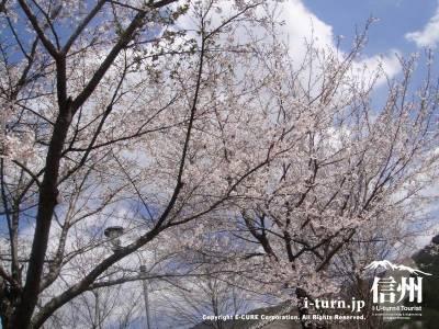 かやぶきの桜はキレイです