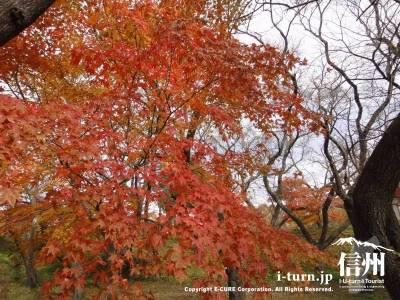 高遠城址公園のカエデが紅葉している