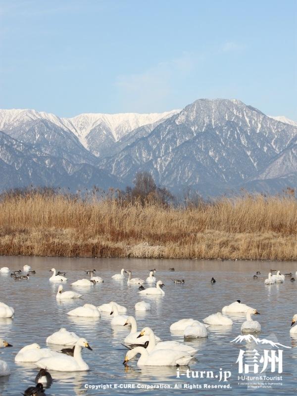 御宝田遊水池|北アルプスを背景に白鳥がみられる|安曇野市明科
