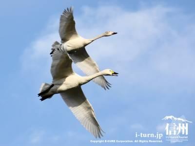空を飛ぶ白鳥
