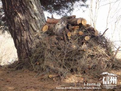 大きな松の木の下に枯れ枝