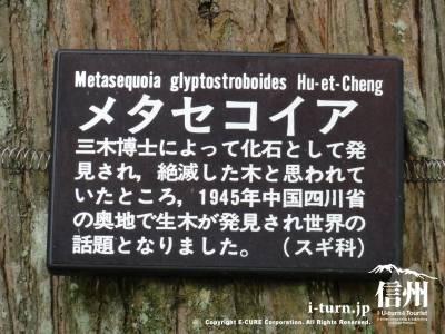 美術館庭内 樹木:メタセコイア解説