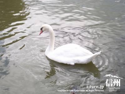 塩沢湖・湖面に浮ぶ白鳥