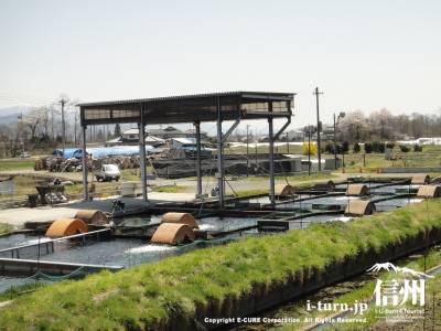 ニジマス養殖所