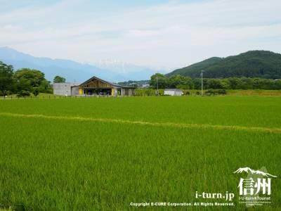 青々と茂る稲の向こうに建物