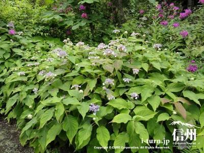 軽井沢植物園夏の山野草アマチャ