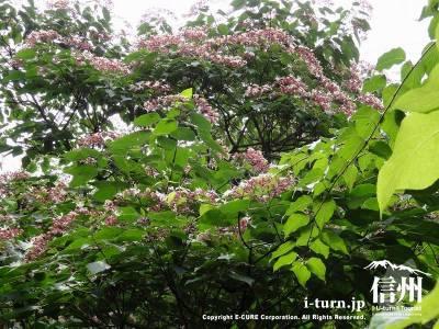 軽井沢植物園夏の山野草キハギ