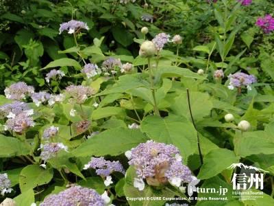 軽井沢植物園夏の山野草タマアジサイ