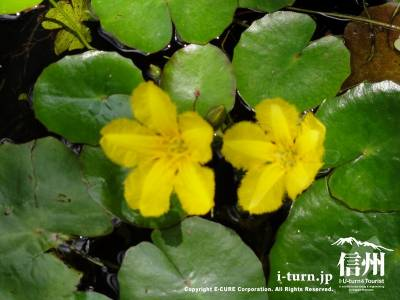 アサザの花Ⅱ