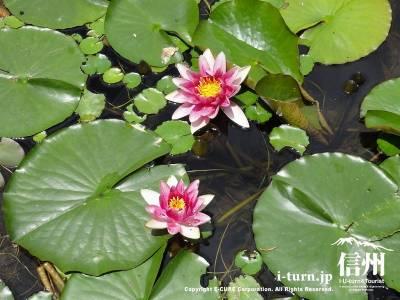 水連の花Ⅰ