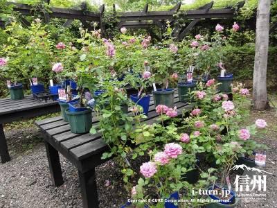 ガーデンショップ薔薇の苗木Ⅱ
