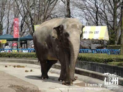 茶臼山動物園の象