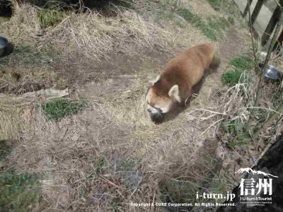 地面を歩くレッサーパンダ