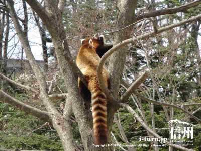木のぼりが得意なレッサーパンダ