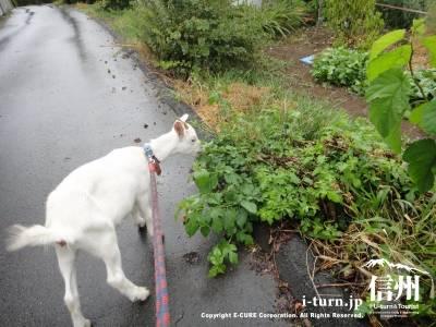 散歩をしてるとあらゆる緑を食べます