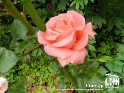 一番良い時期のバラ