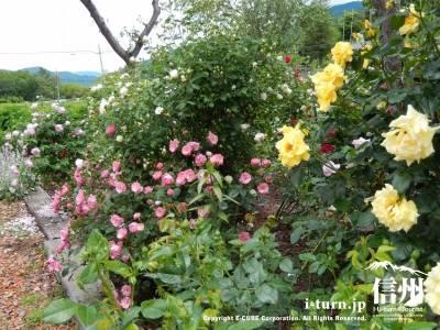 本当にいろいろな色のバラが咲いています
