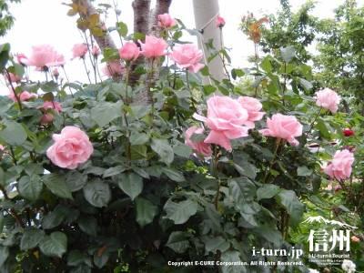 スッと上に向いているバラが凛々しい