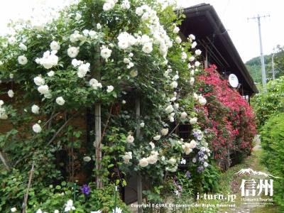 カフェの建物のまわりも一面バラ