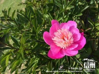 ピンクが綺麗な芍薬