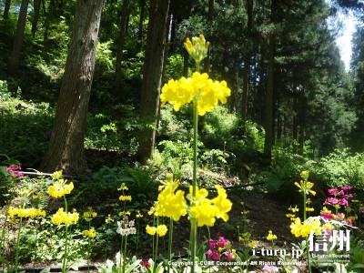 黄色のくりん草も素敵です