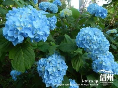 ブルーのアジサイが一番多い
