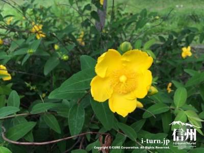 黄色の花もキレイ