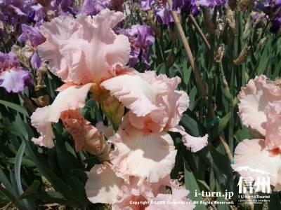 かわいらしいピンク色 アリスグッドマン