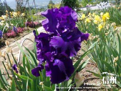 鮮やかな紫