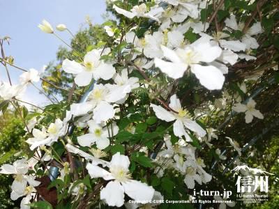 白い花が見事です